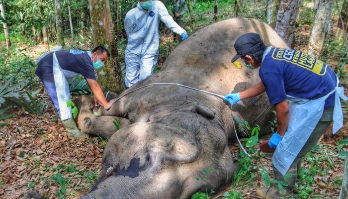 Gajah Betina Tua Kembali Ditemukan Mati di Pelalawan