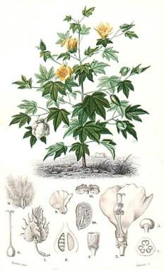 alte botanische Zeichnung: Baumwollpflanze