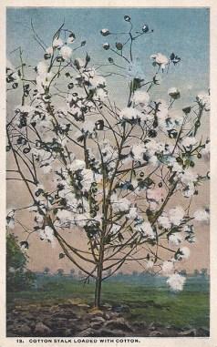 Baumwollpflanze, Baumwolle