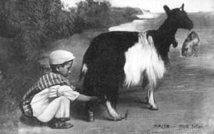 Ziege, Malta, Ziegenmilch, melken