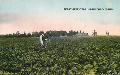 sugar beet, Zuckerrübenfeld, Landwirtschaft, USA