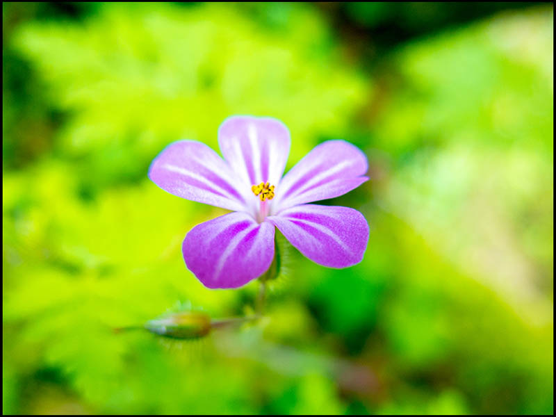 Farbfoto: zartes lila Blümchen vor leuchtend grünem Hintergrund
