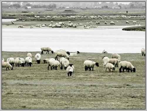 Salzschafe, die auf den immer wieder vom Meer überflutenden Wiesen grasen und sich so sehr salzhaltig ernähren