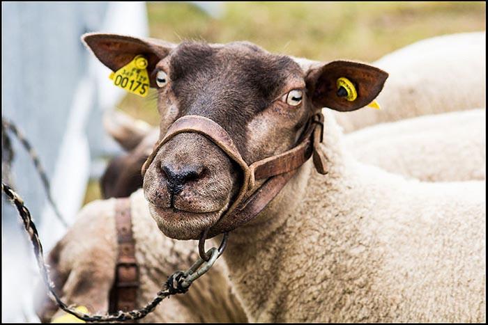 Schaf, Schafskopf