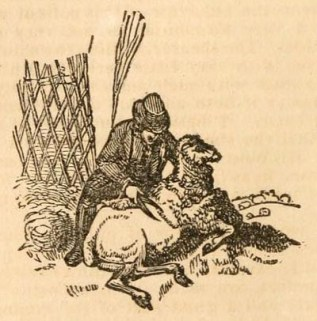 s/w-Illu: Schäfer schert ein Schaf