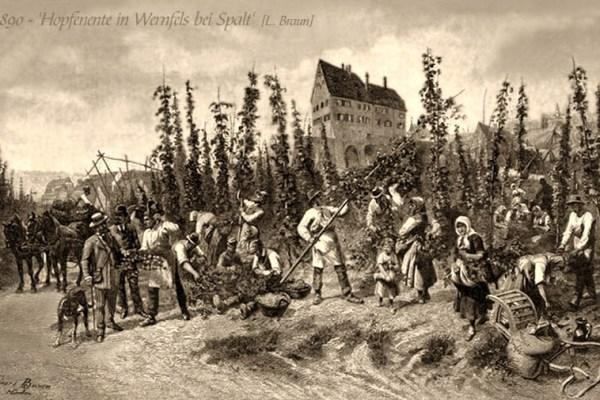 sw-Gemäldefoto: viele Männer und Frau bei der Ernte im Hopfengarten