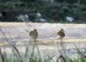 Farbfoto: angepflockte Ködervögel hinter Nylon-Fangfnetz