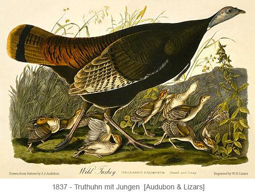 Aquatinta: wildes Truthuhn mit Jungen - 1837