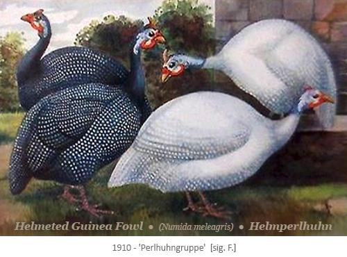 Aquarell: 2 dunkle + 2 helle Perlhühner im Freien - 1910