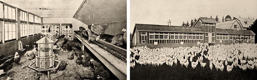 sw Fotos: Stallinneres und Auslaufbereich einer kanadischen Hühnerfarm - 1939