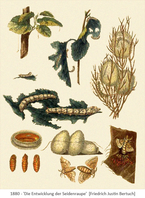 Farblitho: Entwicklung der Seidenraupe - 1800