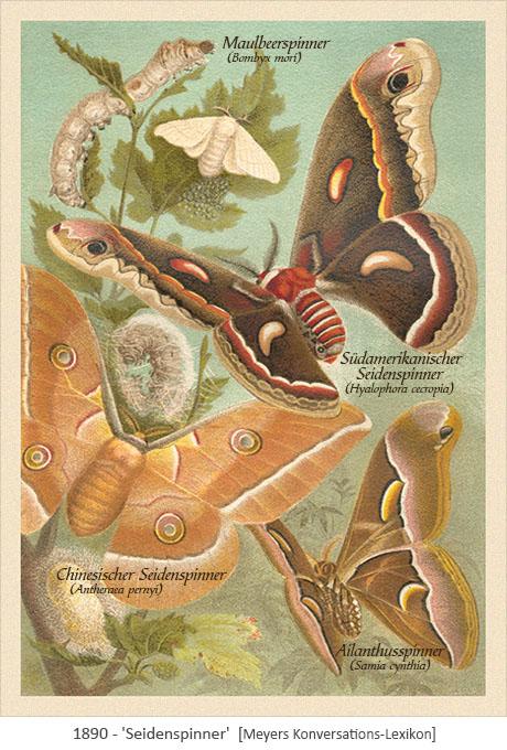 Farblitho: 4 verschiedenen Seidenpinner-Arten - 1890