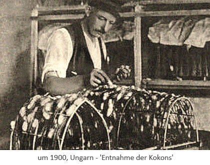 sw Foto: ungarischer Seidenzüchter bei Entnahme fertiger Kokons ~1900