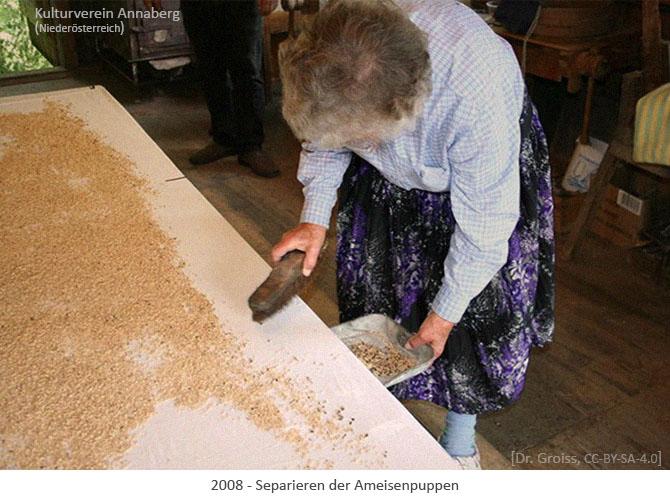 Farbfoto: Separieren der Ameisenpuppen - 2008, AT
