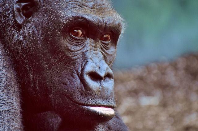 chimpance darwin dna