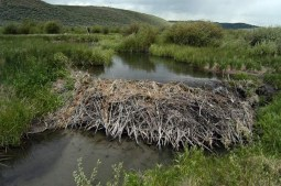 A Beaver Dam in Wyoming (Source: Wildlife Conservation Society-http://www.livescience.com/7580-beaver-dams-boost-songbird-populations.html)