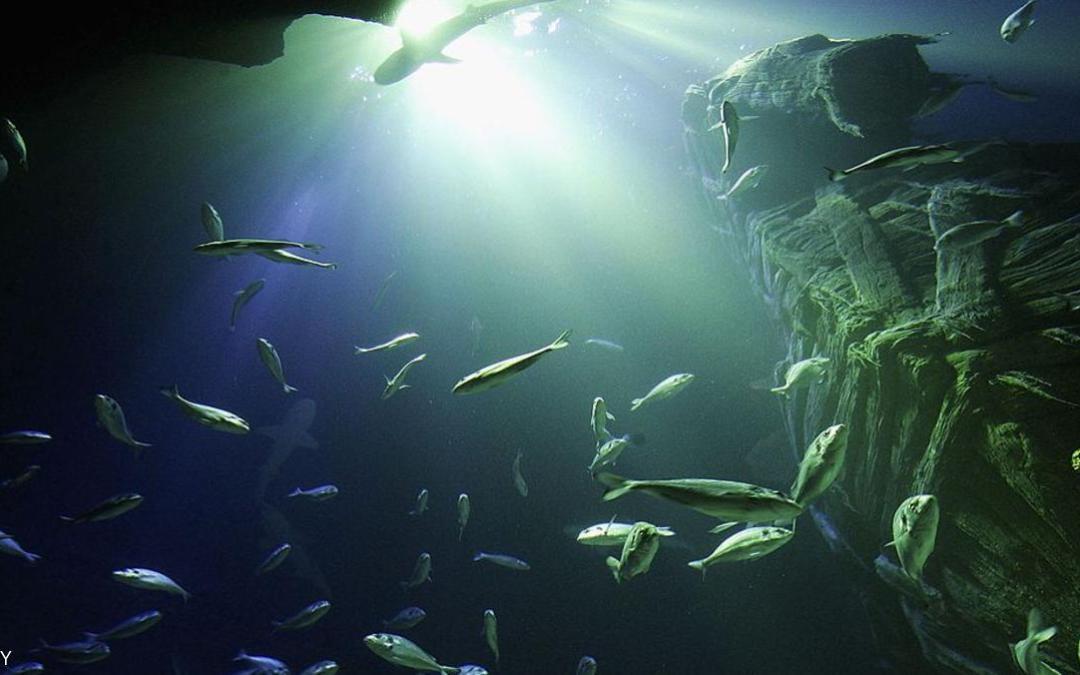 دراسة: الأسماك الكبيرة عرضة أكثر للانقراض