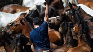 """An """"Aloitadore"""" struggles with a wild horse during the """"Rapa Das Bestas"""" (Shearing of the Beasts) traditional event in the Spanish northwestern village of Sabucedo, some 40 kilometers from Santiago de Compostela, northwestern Spain, on July 3, 2016, during the 400-year-old horse festival called """"Rapa das bestas"""" (Shearing of the Beasts).  Hundreds of wild horses are rounded up from the mountains to be trimmed and marked. / AFP / MIGUEL RIOPA        (Photo credit should read MIGUEL RIOPA/AFP/Getty Images)"""