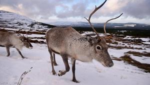 THE CAIRNGORMS NATIONAL PARK, SCOTLAND - DECEMBER 14:  Reindeer at the Cairgorm Herd wait to be fed on December 14, 2014 in The Cairngorms National Park, Scotland. Reindeer were introduced to Scotland in 1952 by Swedish Sami reindeer herder, Mikel Utsi. Starting with just a few reindeer, the herd has now grown in numbers over the years and is currently at about 130 by controlling the breeding. The herd rages on 2,500 hectares of hill ground between 450 and 1,309 meters and stay above the tree line all year round regardless of the weather conditions.  (Photo by Jeff J Mitchell/Getty Images)