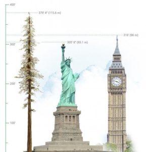tallest-tree-2-600x700
