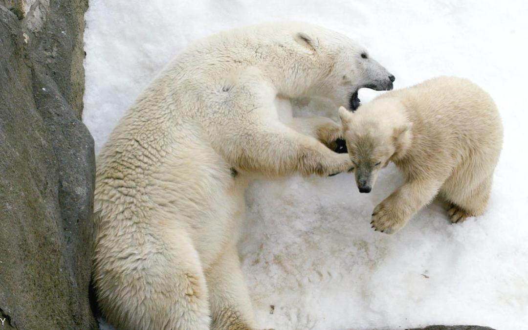 علماء روس تحت حصار الدببة قرب القطب الشمالي