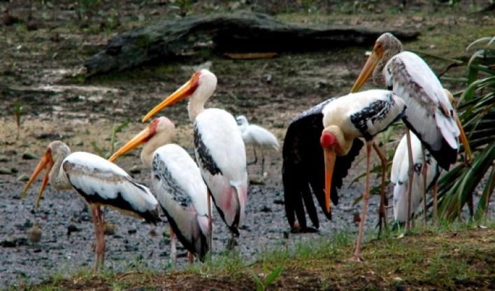 Milky x Painted Stork hybrid – Bird Ecology Study Group