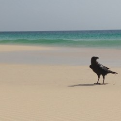 Raven from Cape Verde
