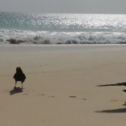 Ravens from Cape Verde