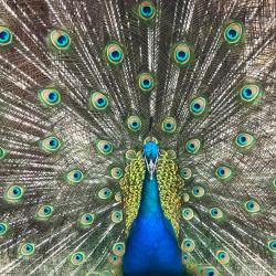 Peacock from South Africa
