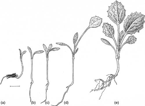 Biological Flora of the British Isles: Eryngium maritimum
