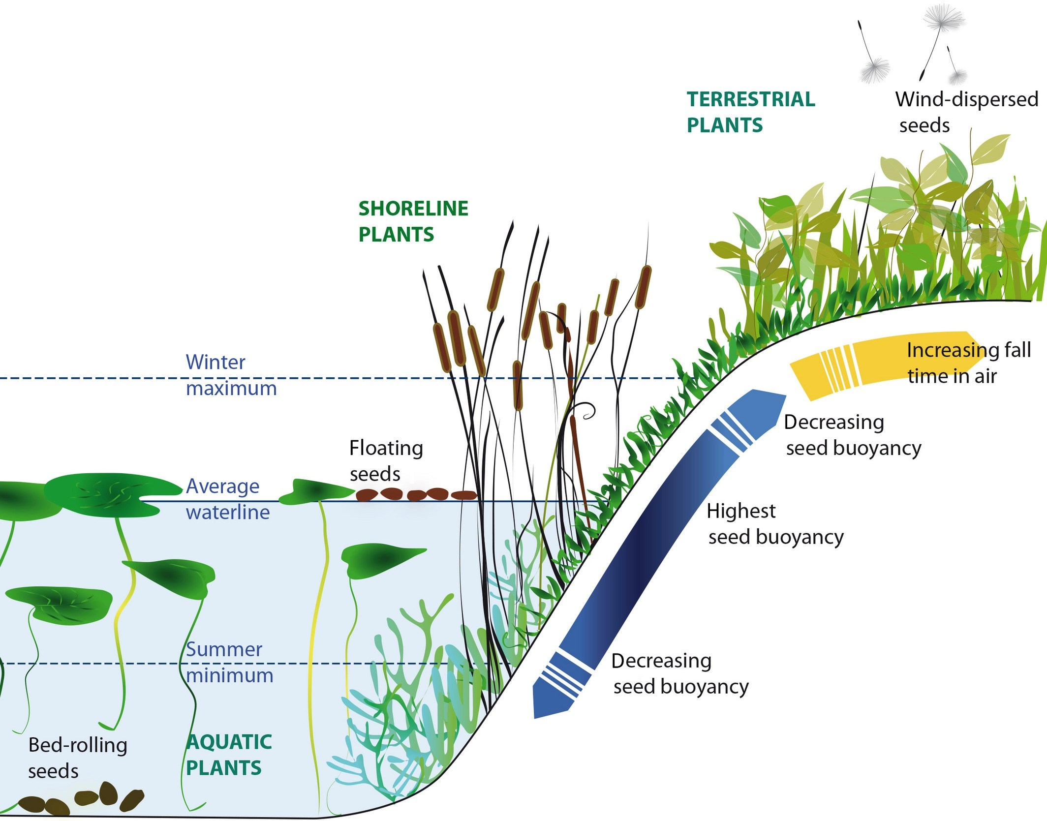 Directed Dispersal By An Abiotic Vector Wetland Plants