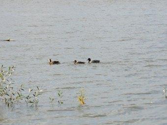 Kaczki na jeziorze