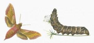 deilephila-porcellus