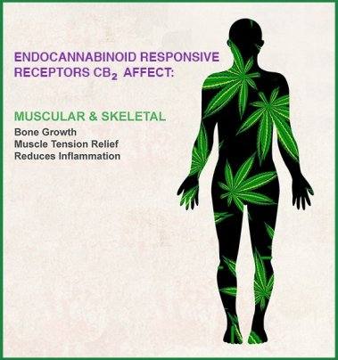 CBD2 Endocannabinoid System