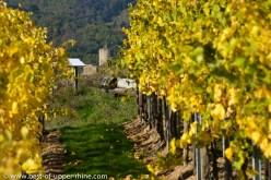 In the vineyards of Kaysersberg