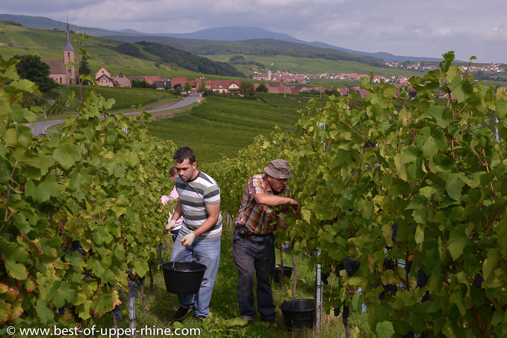 Pinot noir harvest near Andlau in Alsace
