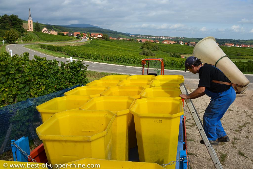 Pinot noir harvest near Andlau in Alsace