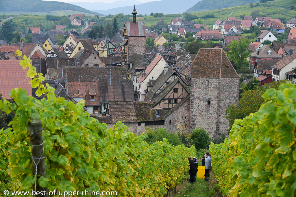 Grape picking in Alsace - some pictures