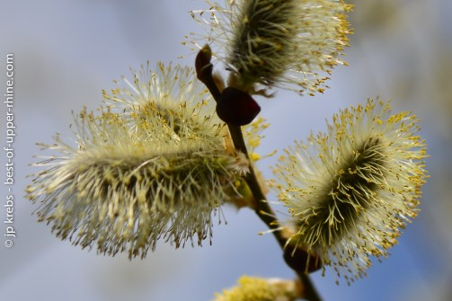 Catkins on hazel trees