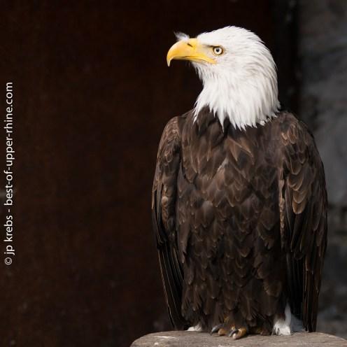Bald Eagle (Haliaeetus leucocephalus). The emblematic bird of the United States of America.