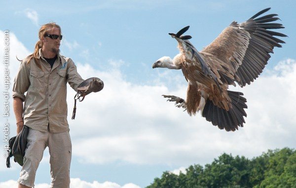 Vulture flying back to his falconer.