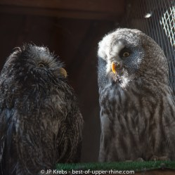 Great Grey Owls (Strix nebulosa)