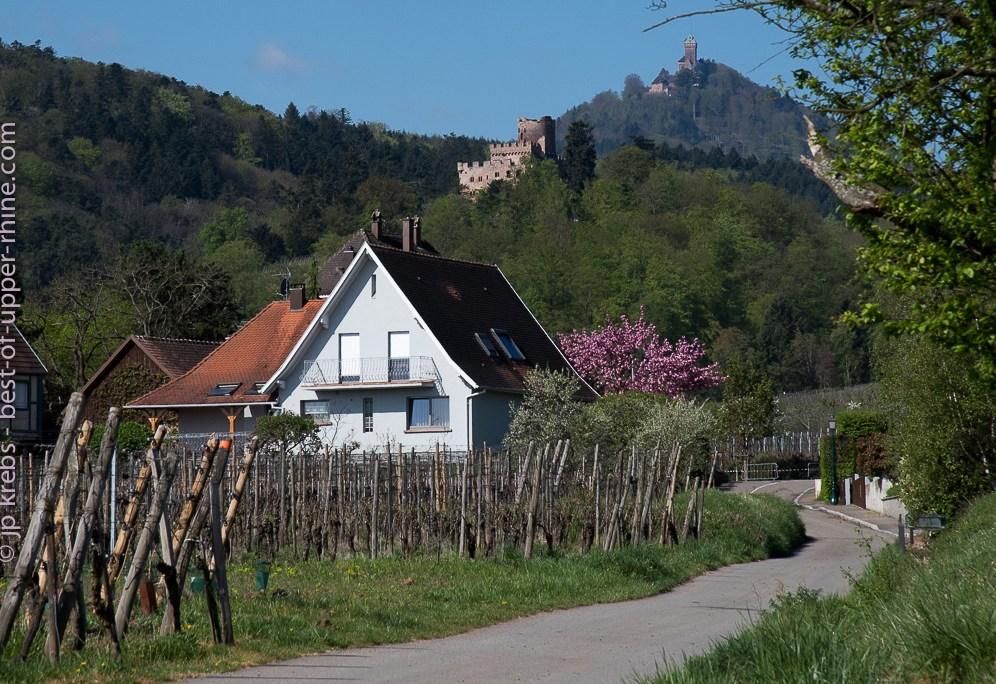 Medieval castles Kintzheim and Haut-Koenigsbourg, overlooking the vineyards. Spring on the Alsace wine route.