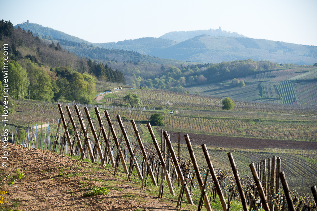 Oberberg vineyards in Riquewihr with the silhouette of the Haut-Koenigsbourg castle on the horizon