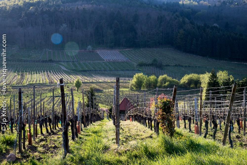 Vineyards on the Rosenburg, Oberberg and Froehn hills in Riquewihr