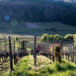 Vineyards on the Rosenburg, Oberberg and Froehn hills in Riquewihr