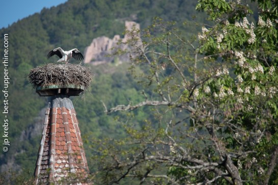 Stork's nest in Ribeauville