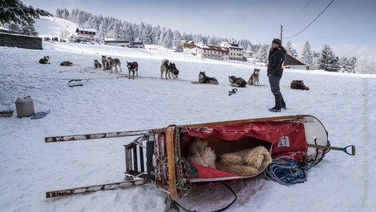 The musher and his sled dogs rest between two races ...