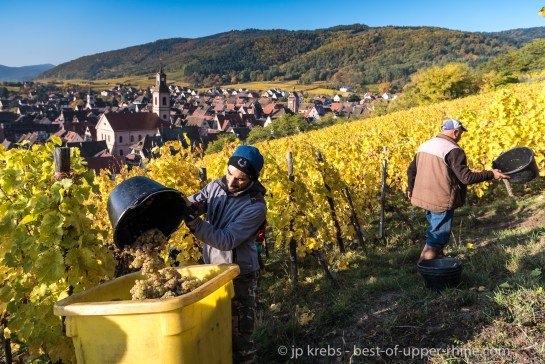 Grape harvesting in Riquewihr on the Schoenenbourg hill.