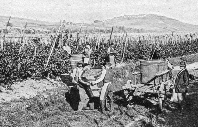Grapes picking in Riquewihr in the 1900s